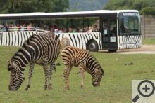 Safariexpres projíždí mezi volně se pasoucími zebrami