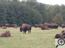 Dospělí samec bizona dorůstá váhy až jedné tuny