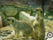 Vedle opeřenců a klokanů můžete ve Zvířátkách spatřit třeba surikaty